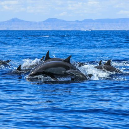 Pod of dolphins