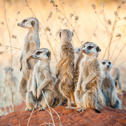 Meerkats in the Kalahari