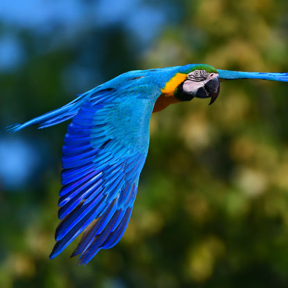 Macaw Flying Through the Jungle
