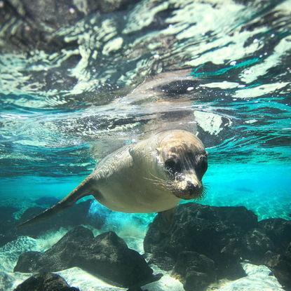 Sea Lion under Water
