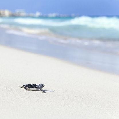 New Born Turtle on the Beach