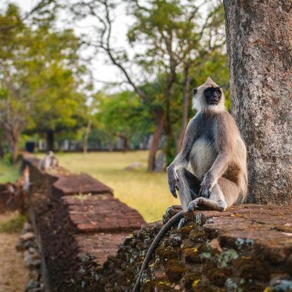Polonnaruwa Gibbon