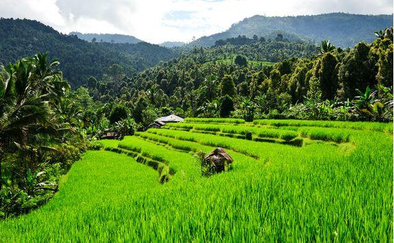 rice field bali
