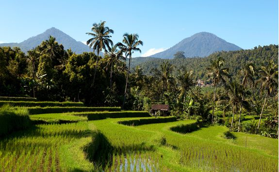 rice paddy field bali