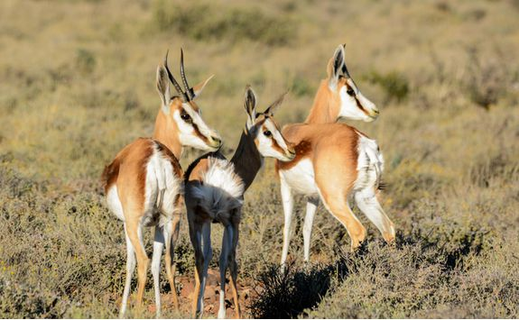 Springbok in South Africa