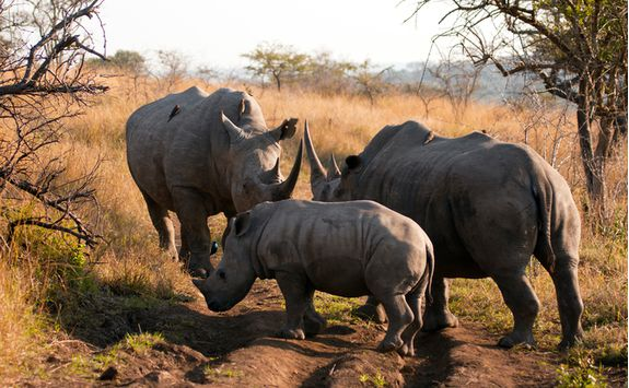 White rhino in the Phinda Game Reserve