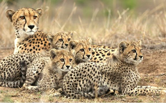 andbeyond Phinda Forest Lodge - Cheetah Sighting