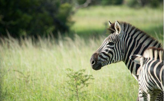Zebra, KwaZulu Natal