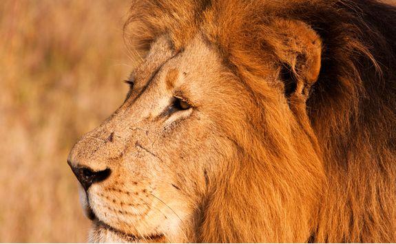 Lion, KwaZulu Natal