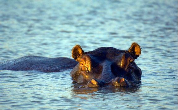 Hippo, KwaZulu-Natal