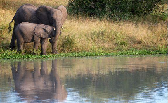 Elephants by a lake