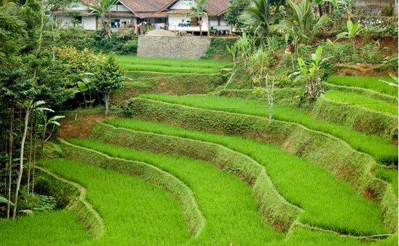 Java Rice Paddies