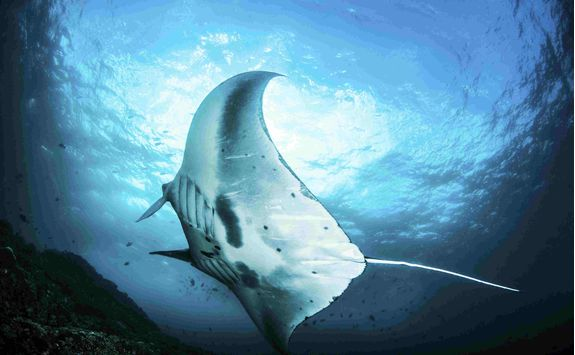 Manta Ray, Indonesia