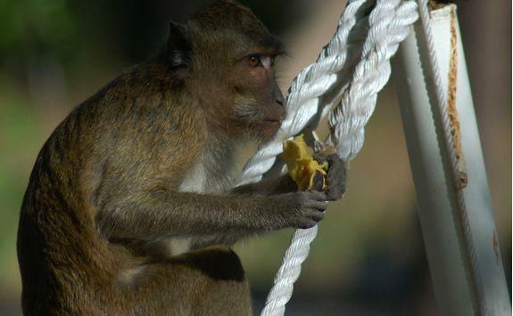 amanwana monkey