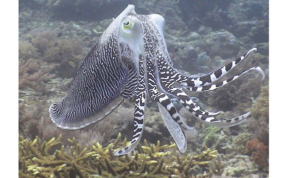 amanwana octopus