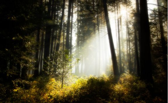 Sunbeam in Sierra Forest