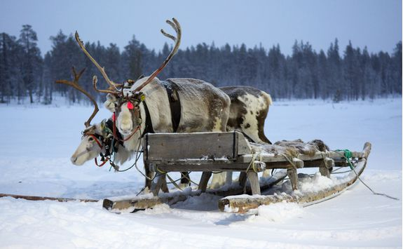Charming sami reindeer are ready to take you on your trip