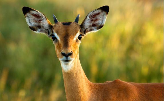 Impala spotting
