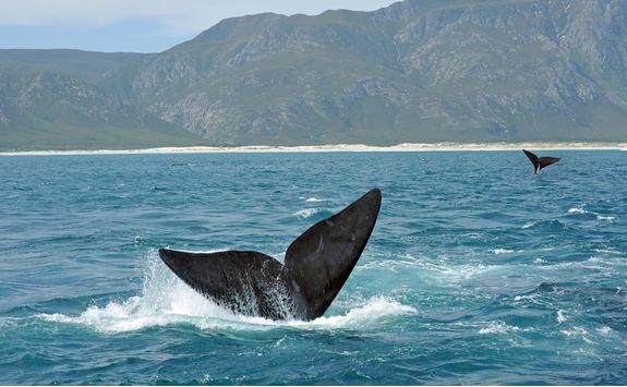 Whale tail, Hermanus