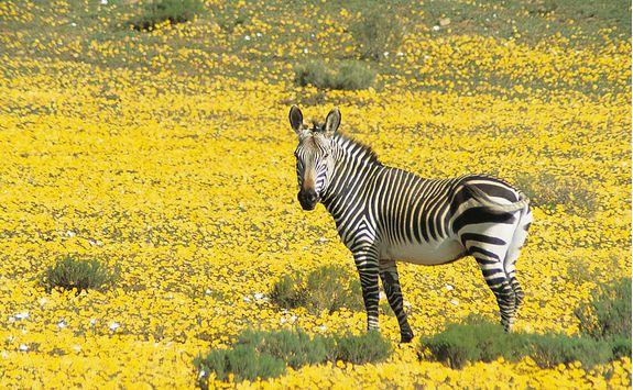 bushamns kloof zebra