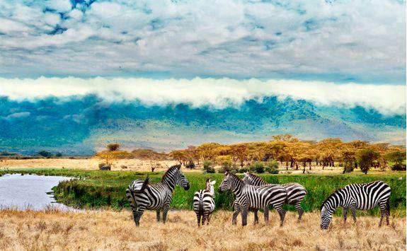 ngorongoro conservation area zebras