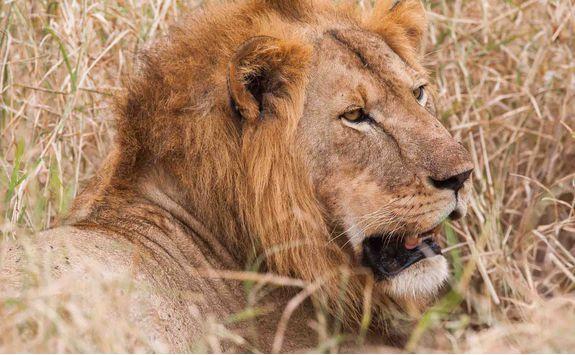 close up lion shot