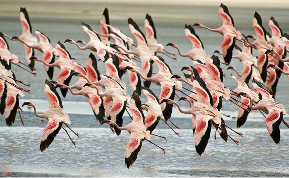 ngorongoro flock of flamingo