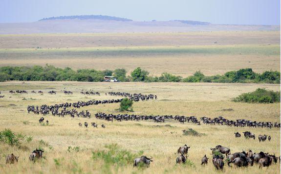 wildebeest migration herd