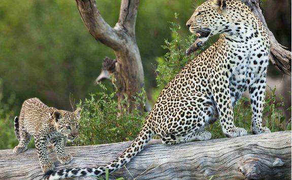 serengeti leopard and cub