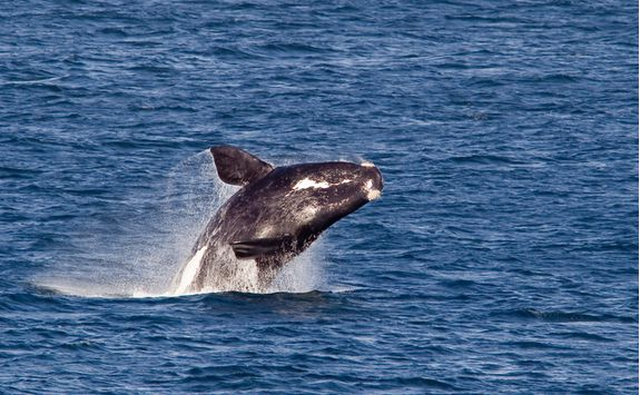 Whale watching in Hermanus