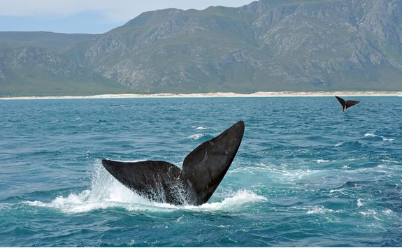 A whale's tail in Hermanus
