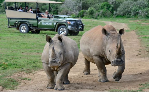 Rhinos running on a Game Drive