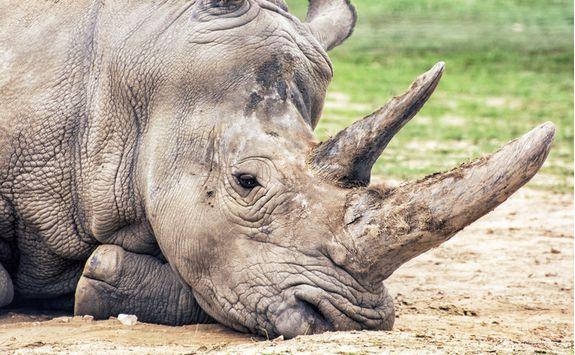 A white Rhino