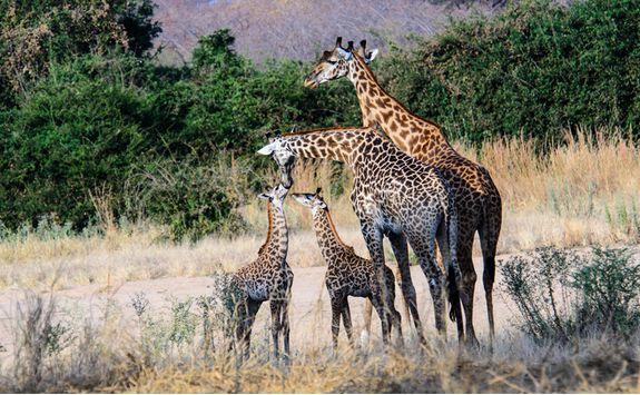 Giraffes spotting, Africa