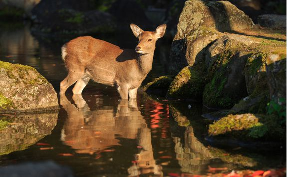 Deer on Yakushima Island