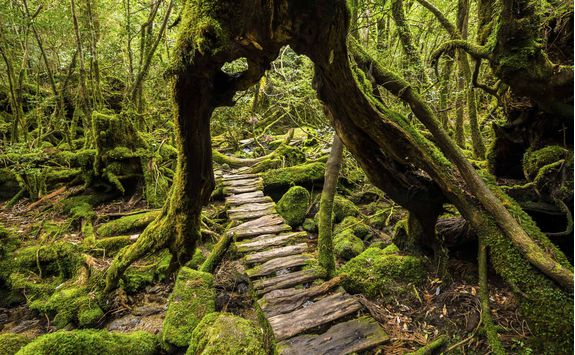 Trail through a tree in Yakushima National Park walkway