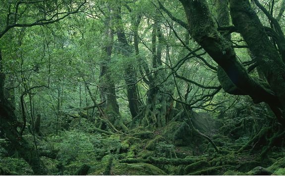 Forest on Yakushima Island