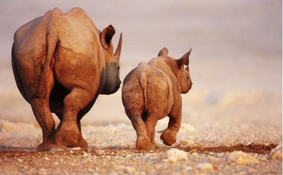 black rhino calf etosha