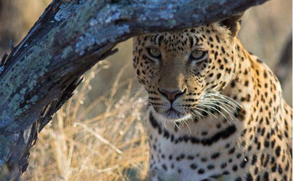 okonjima leopard