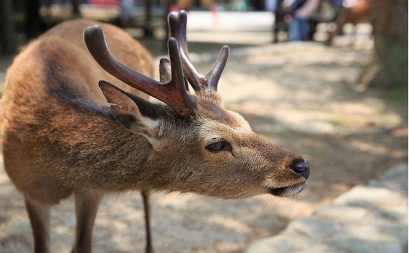 Deer on the island of Miyajima