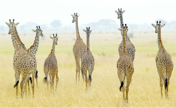 A herd of Giraffes