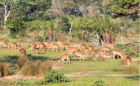 wilpattu national park deer