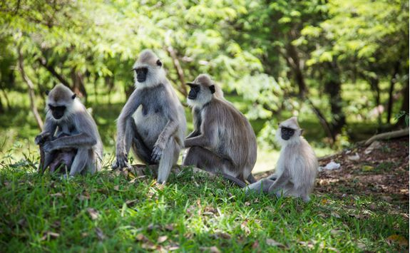 polonnaruwa monkeys