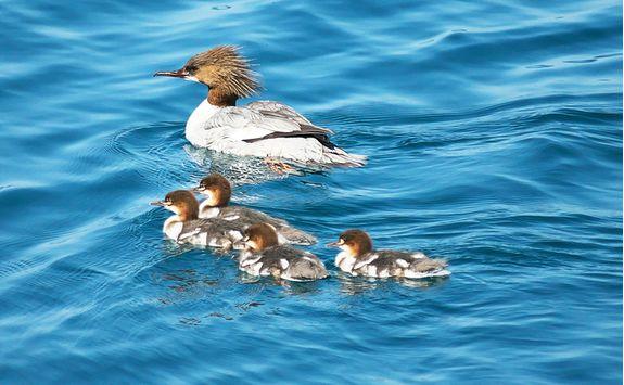 Ducks on Lake Toya
