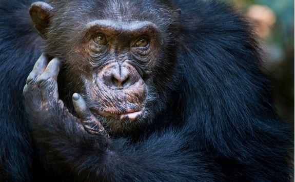 chimp close up