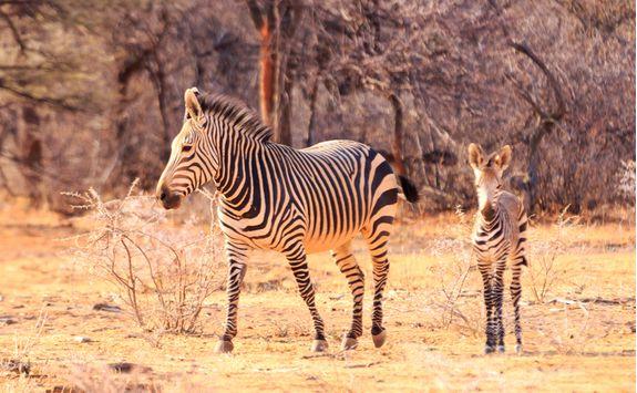 Zebras in NamibRand