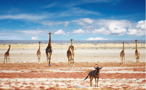 A herd of giraffes in Etosha