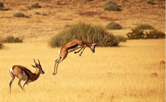 Impalas jumping