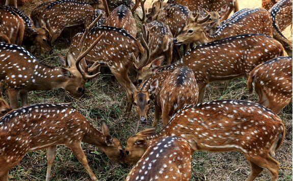 ranthambore national park deer