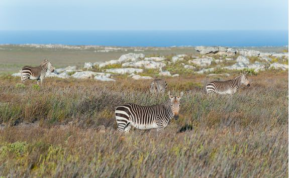 zebras cape point